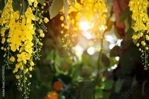 Tuinposter Wijngaard Cassia fistula or golden shower national flower