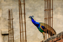 Peacock Sitting At A Construction Site