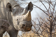 Black Rhino In The First Morning Light Gnaws Relish On A Bush In Etosha National Park, Namibia, Africa.