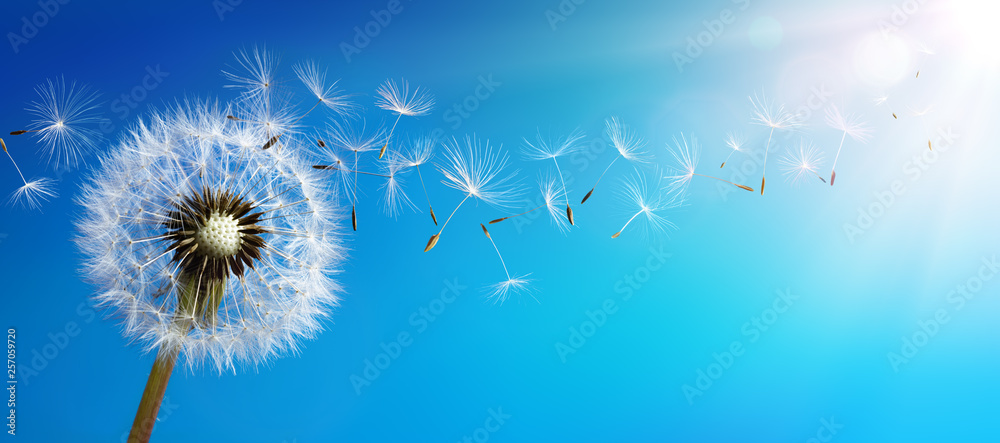 Fototapeta Dandelion With Seeds Blowing Away Blue Sky