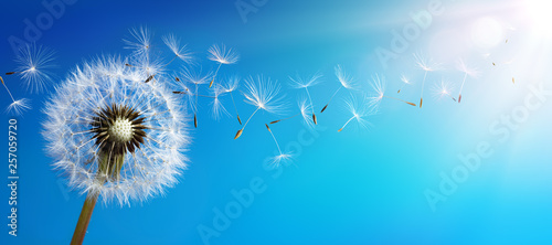 Spoed Foto op Canvas Paardenbloem Dandelion With Seeds Blowing Away Blue Sky
