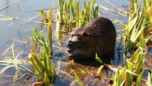 Nutria Eating Reed On Pond