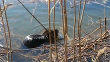 Nutria Swim And Hide In Reed