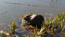 Two Nutria Eating Trunk In Pond