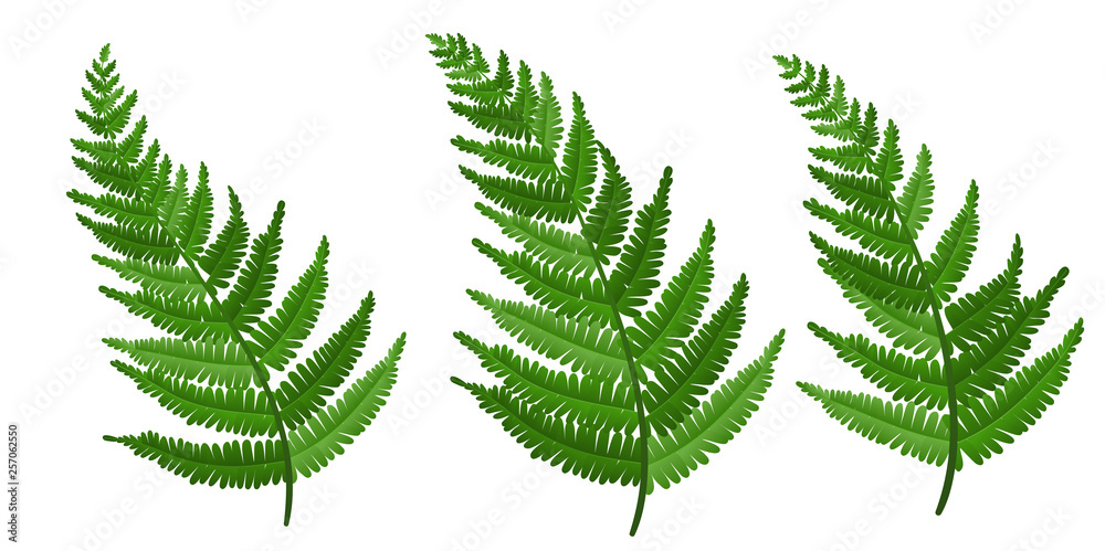Fototapeta Realistic fern leaf collection, isolated on white. Vector illustration for nature design, or ECO background with fresh green color