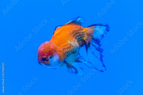 Oranda Goldfish (Carassius auratus) swimming in blue water