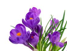 Blue Crocuses Flowers