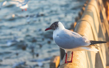 Close-up Of White Seagull Perc...