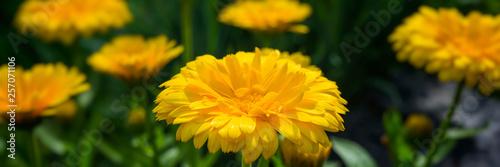 Fotografía  Flowers marigold decorative in the garden on a blurred green background