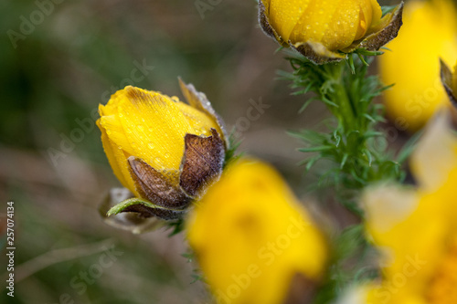 Photo Detail of Adonis vernalis almost in bloom