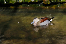 View Of Swimming Male Ringed Teal Duck