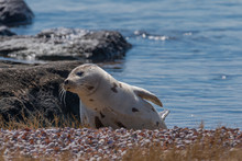 Young Harp Seal Resting In Spr...