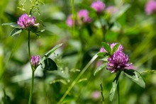 Wild Clover On A Summer Meadow
