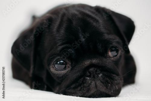 Obraz na plátně  Adorable pug puppies
