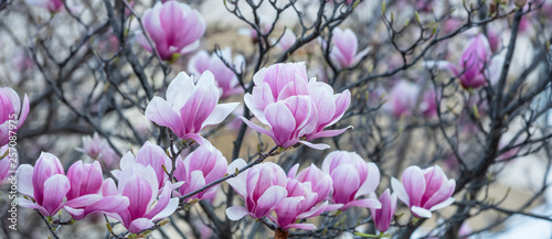 Fotografia Spring, easter time. Magnolia tree blooming closeup view, banner