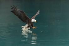 North America Bald Eagle In Ka...