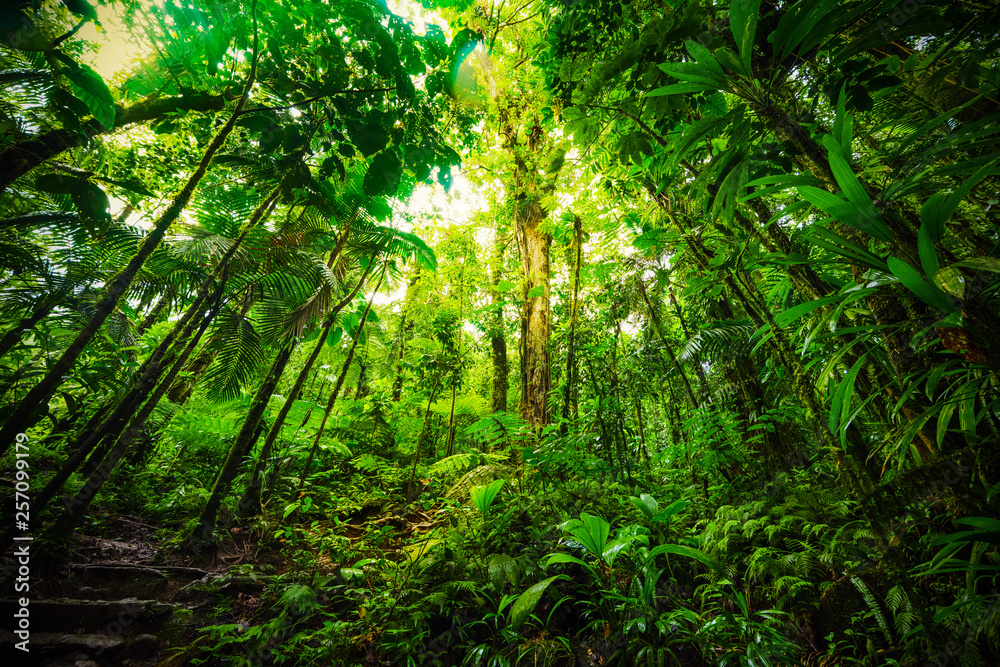 Fototapeta Tall plants in Basse Terre jungle in Guadeloupe