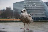 Fototapeta Londyn - szara mewa na tle Londynu