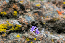Close Up. Beautiful Blooming Purple Wildflowers - Blue Dicks, With Blurred Background Of Sharp Grey Rock Covered With Bright Colored Yellow, Orange And Red Crustose Lichen.