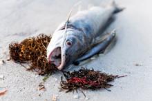 Closeup Of One Dead Catfish Fi...