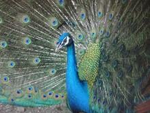 クジャクー羽を広げて横をむく孔雀