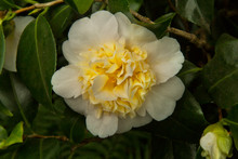 Common Camellia, Japanese Came...