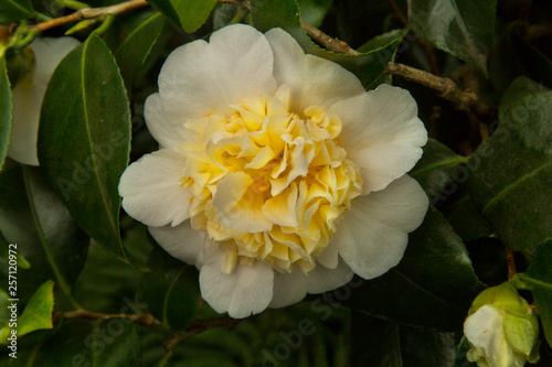 Common camellia, Japanese camellia Fototapet
