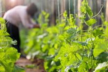Gardener Tending To The Row Of...