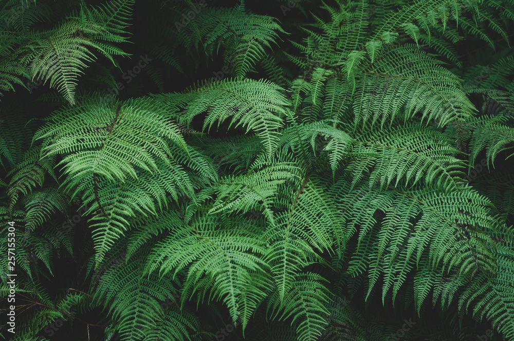 Fototapety, obrazy: Large green leaves of the forest fern
