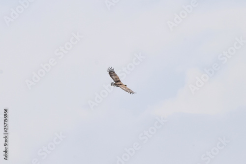 Fotografia  Spring young Aquila fasciata eagle flies in blue sky