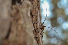 Longhorn Beetle Crawling On Th...