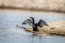 Reed Cormorant Grooming Itself On The Sand.