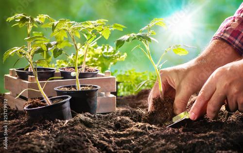Fotografia Farmer planting tomatoes seedling in organic garden