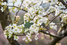 Pear Blossom Tree Flowers Clos...