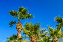Green Sabal Palm Trees Against The Blue Sky