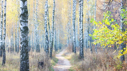 Panel Szklany Las beautiful scene with birches in yellow autumn birch forest in october among other birches in birch grove
