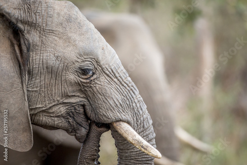 Close up of an African elephant. Canvas Print