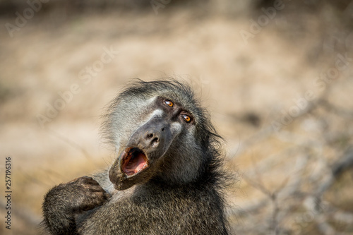 Chacma baboon yawning in the Kruger. Canvas Print