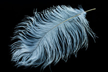 White Ostrich Feather On Black...