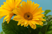 Beautiful Blooming Gerbera Is Blooming. Yellow Gerbera Daisy Macro With Water Droplets On The Petals. Flower Background.