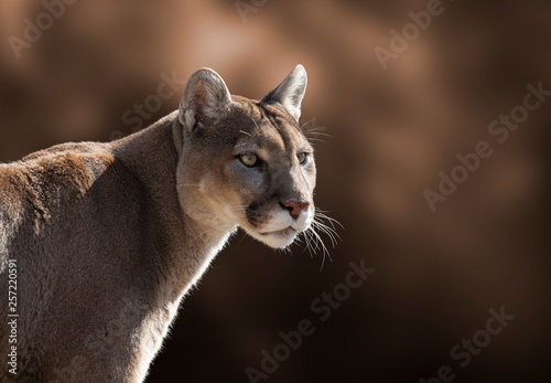 Cougar Closeup Portrait Canvas-taulu
