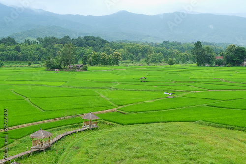 Fototapety, obrazy: rice field in the morning