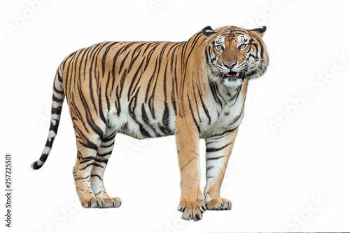 In de dag Tijger tiger action .
