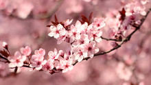 Ornamental Plum Flowers