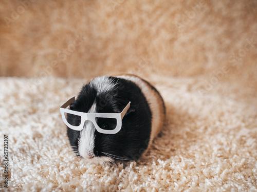 Fototapeta Guinea pig with glasses