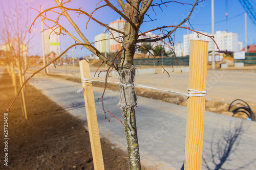 Fotografija Newly planted trees at roadside, with three stakes for support