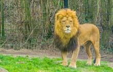 Closeup Of A Male Lion Standin...