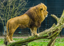 Male Lion Standing On A Branch...
