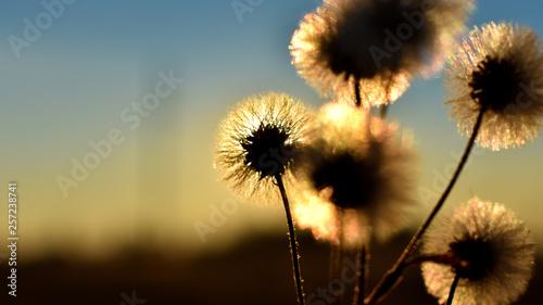 Poster Paardenbloem dandelion on sunset background
