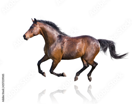 Foto op Canvas Paarden Brown horse runs isolated on white background